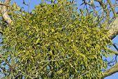 pic of mistletoe  - Large clump of Mistletoe in old tree  - JPG