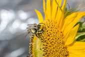 pic of bumble bee  - Bumble bee on sunflower on sunny summer day - JPG