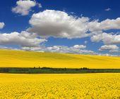 stock photo of rape  - Yellow rape field under nice clouds in blue sky - JPG