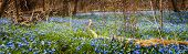 picture of abundance  - Panorama of early spring blue flowers wood squill blooming in abundance on forest floor - JPG
