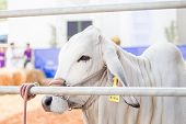 pic of cattle breeding  - Beef cattle waiting for decision in judging contest - JPG
