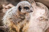 foto of meerkats  - Meerkat at West midlands safari park in the uk - JPG