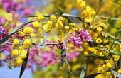 pic of mimosa  - flowers of lilac and mimosa as spring background for Valentine - JPG