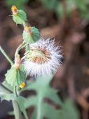 picture of lion  - white Dandelion fower seeds with some blosomscommonly found in Euroasiain the summers.Name denotes lion