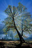 Sunray behind Black Oak