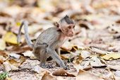image of macaque  - Little Monkey  - JPG