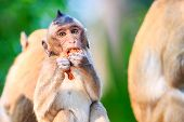 stock photo of macaque  - Little Monkey  - JPG