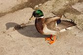 picture of male mallard  - The male mallard with the green head standing on the ground - JPG