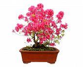picture of azalea  - Red azalea bonsai isolated on white background - JPG