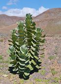 image of negro  - An evergreen bush  with large leaves in the barren hills near Pozo Negro on Fuerteventura belonging to Spain - JPG