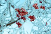 picture of rowan berry  - Red rowan berries with ice crystals winter morning hoarfrost vintage photo effect.