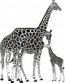 Постер, плакат: Adult giraffes and baby giraffe