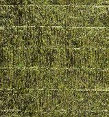 pic of edible  - Nori sheet of edible seaweed species of the red algae genus Porphyra as a background texture - JPG