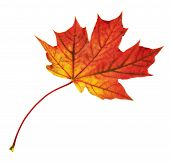 picture of canada maple leaf  - Autumn red maple - JPG