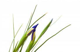pic of purple iris  - dark purple iris flower buds isolated on white background - JPG