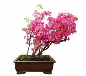 stock photo of azalea  - Red azalea bonsai isolated on white background - JPG