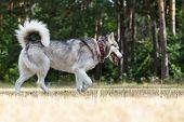 picture of dry grass  - Siberian Husky blind from birth - JPG