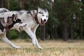 picture of dry grass  - Two Siberian Husky plays in the park - JPG