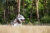 stock photo of dry grass  - Siberian Husky is lying on the dry grass and is resting after jogs - JPG