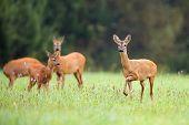 picture of deer family  - Roe - JPG