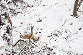 image of lamas  - Guanaco  - JPG