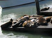 picture of sea lion  - Sea Lions of Pier 39 San Francisco California - JPG
