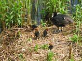 Eurasian coot witch chicks
