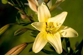 foto of asiatic lily  - Vibrant yellow colored Asiatic Lily flower close up  - JPG