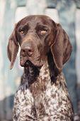 Dog portrait. German pointer dog in garden. poster