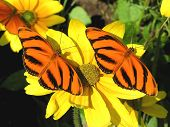 Banded Orange Butterflies