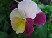 Antique Shades Pansy 15