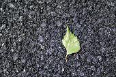 Green Leaf On Asphalt
