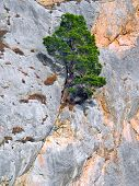 Pine on a rock background.