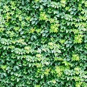 Ivy pattern seamless background. (See more seamless backgrounds in my portfolio).