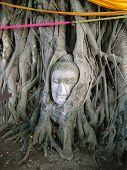 Cabeça do Buda enraizado