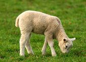 stock photo of the lost sheep  - a solitary lamb eating grass in a meadow - JPG