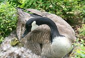 picture of mother goose  - A mother Canadian goose kisses her newborn gosling - JPG