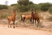 Wary Red Hartebeest