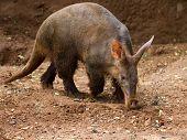 Aardvark Prowling