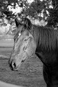 Black Horsehead - Bw