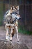 Wolf. Portrait Image Of The Wolf (canis Lupus) Standing On The Rock, Looking In To The Woods. poster