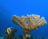 Red Sea Bannerfish under a table coral