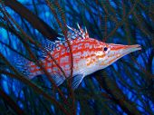 stock photo of hawkfish  - Longnose Hawkfish in Black Coral - JPG
