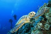 Hawksbill Sea Turtle and family of scuba divers