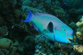 Steepheaded Parrotfish