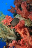 stock photo of damselfish  - Damselfish in Red Soft Corals - JPG