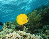 Masked Butterflyfish Chaetodon semilarvatus