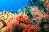Lionfish (Pterois miles) and beautiful red Soft Corals (Dendronephthya hemprichi)