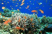 Lyretail Anthias on Acropora Coral