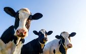 Holstein cows in the pasture with copy space in blue sky poster